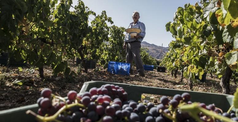 viticultura_gran_canaria
